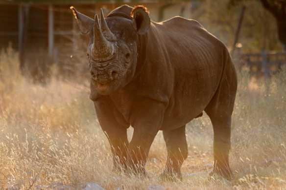 The closest I ever got to a Rhino. Beautiful & strange. One of many animals that is trophy hunted in Africa & poached in Africa and in South East Asia to near extinction.